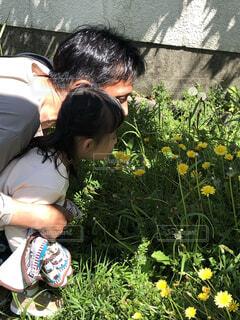 風景,花,屋外,親子,散歩,黄色,人物,人,たんぽぽ,綿毛,3歳