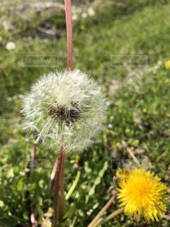 花,春,屋外,散歩,黄色,綿毛,草木,日中,タンポポ,フローラ