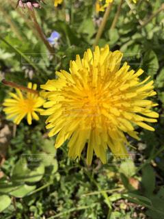 花,春,屋外,植物,晴天,散歩,黄色,樹木,たんぽぽ,草木,タンポポ,フローラ,在来種