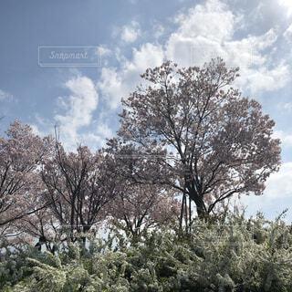 自然,風景,空,公園,花,春,桜,屋外,雲,樹木,草木,日中