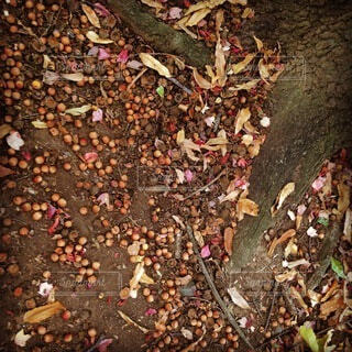 秋,紅葉,木,茶色,枯葉,もみじ,どんぐり,茶,木の根,ドングリ,根っこ