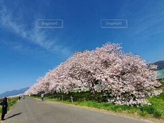 空,花,春,桜,屋外,青い空,道路,樹木