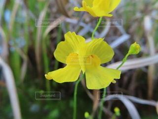 自然,花,植物,草花,草木,タヌキモ