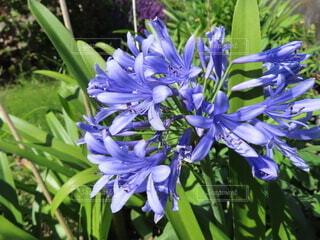 自然,花,植物,草花,草木,アガパンサス,ムラサキクンシラン