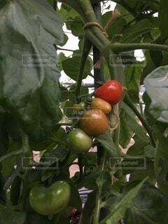 だんだん色づくミニトマトの写真・画像素材[4885128]