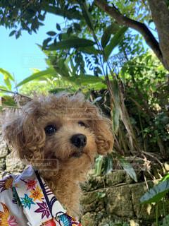 犬,動物,屋外,沖縄,樹木,プードル