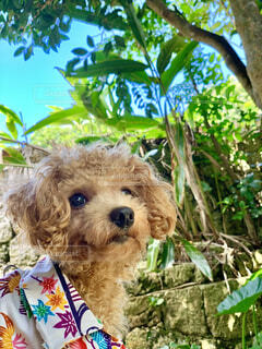 犬,動物,屋外,沖縄,樹木,子犬,プードル