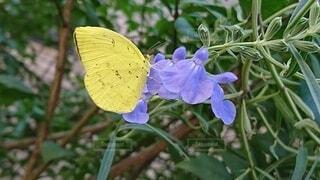 花,庭,屋外,植物,黄色,ガーデニング,青い花,昆虫,蝶,草木,黄色の蝶,花とちょうちょ