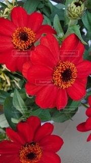 花,赤,花びら,ガーデニング,ヒャクニチソウ,草木,ブルーム,ジニア,フローラ