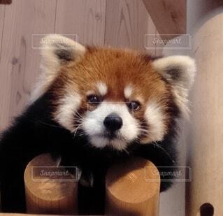 動物,レッサー パンダ