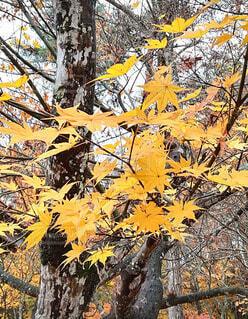 秋,紅葉,屋外,黄色,葉,もみじ,樹木,楓,落葉,福島,草木,カエデの葉