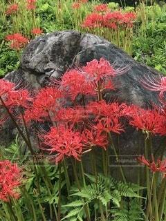 花,緑,赤,草,彼岸花,曼珠沙華,石,リコリス
