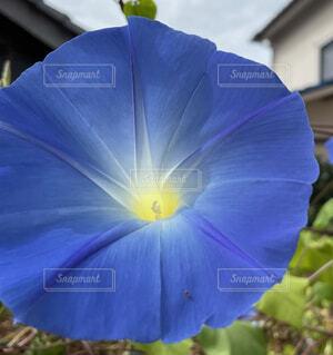 花,屋外,青,フラワー,ブルー,朝顔,草木,昼顔,ユウガオ,ビーチムーンフラワー