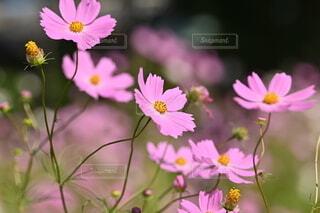 空,花,景色,秋桜,草木,フローラ