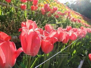 花,お花,チューリップ,flower,ちゅーりっぷ