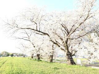 空,花,桜,屋外,桜並木,景色,草,樹木