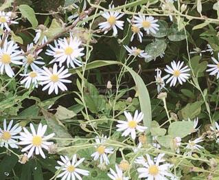 花,屋外,植物,草,草木,カモミール,フローラ