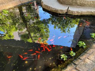 自然,花,屋外,湖,水面,池,反射,金魚,群れ,群
