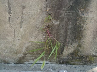 屋外,植物,草,雑草,コンクリート,地面,石,アスファルト,一生懸命,草木,力,根性,人知れず,ひたむき,雑草根性