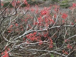 自転車,枝,木の実,樹木,赤い実,木の枝,山の木