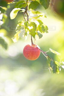 長野県のりんごの写真・画像素材[4895850]
