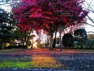 公園,秋,夕日,屋外,赤,黄色,景色,草,樹木,草木,カエデ,モミジ