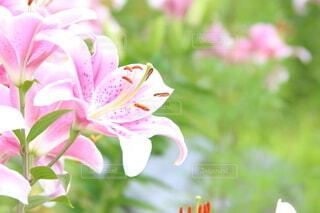 花,ピンク,緑,可愛い,百合,ユリ