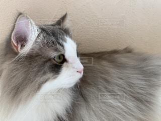 猫,風景,動物,屋内,白,横顔,可愛い,見つめる,ハチワレ,ネコ科