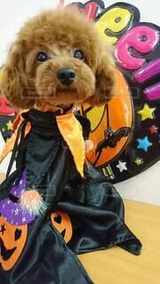 犬,秋,動物,屋内,黒,オレンジ,イベント,ハロウィン,かぼちゃ,お祭り,トイプードル,コスプレ,仮装,10月,おばけ,行事,トリックオアトリート,トイプードルレッド,ハッピーハロウィン,ハロウィンコスプレ