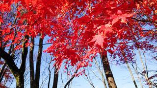 空,秋,紅葉,屋外,赤,散歩,葉,山,鮮やか,樹木,旅行,レジャー,草木,インスタ映え