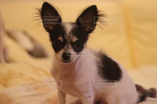 犬,動物,チワワ,屋内,白,黒,景色,座る,子犬,ハスキー