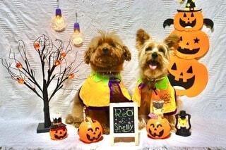 ハロウィン,プードル,トイプードル,コスプレ,dog,ヨークシャーテリア,ヨーキー,Halloween,愛犬家