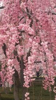 公園,花,春,ピンク,樹木,草木,さくら,ブルーム,ブロッサム