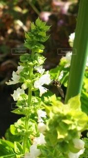 バジルの花の写真・画像素材[4910752]