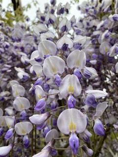 花,紫,ラベンダー,藤,ライラック,藤の花,草木,フローラ