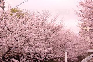 公園,春,桜,ピンク,桜並木,さくら,桜ロード