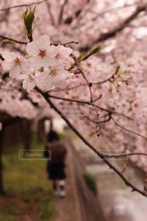 公園,春,桜,ピンク,桜並木,新一年生,ランドセル,さくら,桜ロード