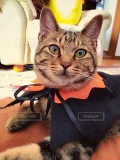 猫,ハロウィン,仮装