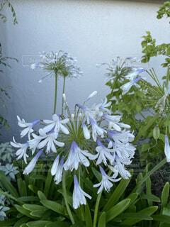 線香花火のような咲き方の花の写真・画像素材[4903171]
