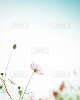 花,秋,ピンク,コスモス,青空,秋桜,可憐,草木,cosmos