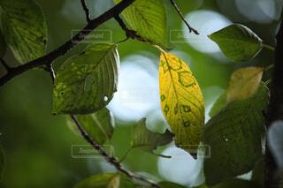 自然,秋,紅葉,屋外,葉っぱ,葉,光,樹木,キラキラ,木の葉,草木,黄葉,きらきら,木葉