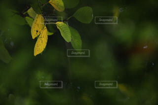 紅葉,葉っぱ,光,キラキラ,木の葉,草木,黄葉,きらきら,木葉