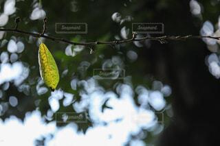 自然,秋,紅葉,葉っぱ,光,キラキラ,木の葉,草木,黄葉,きらきら,木葉