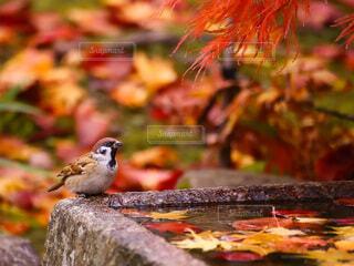 紅葉を楽しむスズメの写真・画像素材[4902402]