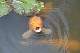 魚,京都,水面,葉,庭園,金魚