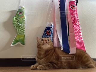 猫,動物,魚,屋内,ねこ,鯉のぼり,こどもの日,cat,端午の節句,記念写真,ネコ,親バカ