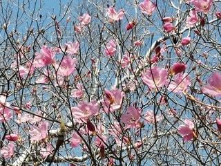 花,春,ピンク,桃色,草木,山歩き,ブロッサム,あけぼのつつじ
