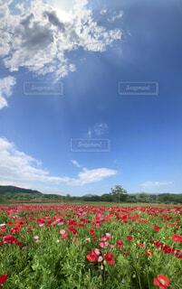 空,花,屋外,赤,雲,景色,草