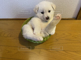動物,屋内,白,床,座る,子犬