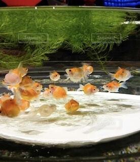 魚,屋内,水族館,水中,金魚,ピンポンパール